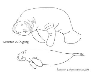 Manatee vs Dugong side view