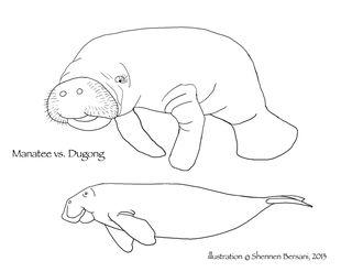 Manatee vs Dugong side view