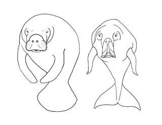 Manatee vs Dugong front view